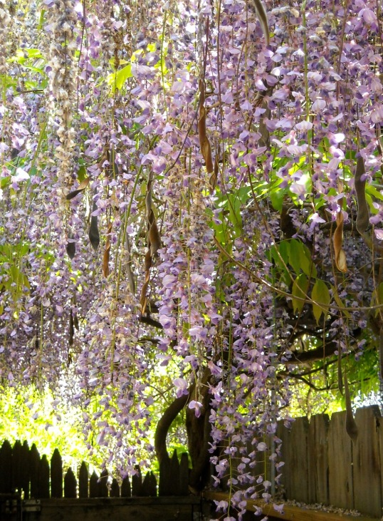 Glorious blooming wisteria