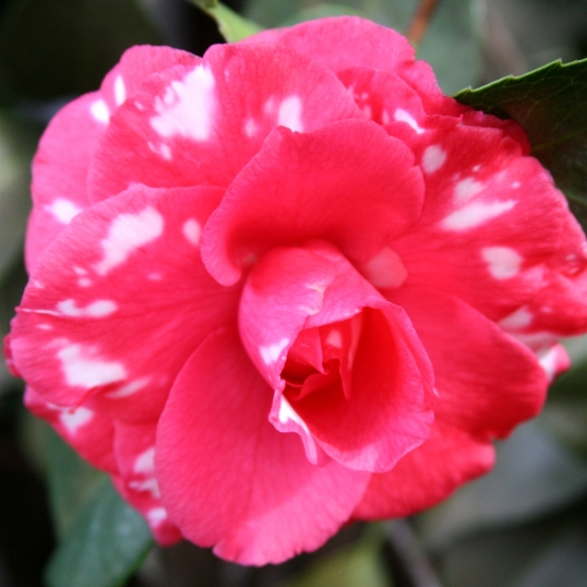 Speckled camellia in my front yard