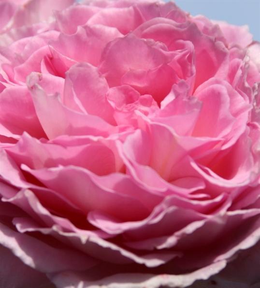Winter pink rose