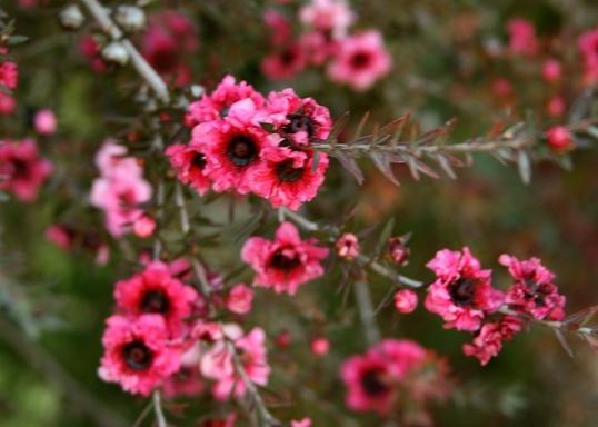Beautiful pink blooms