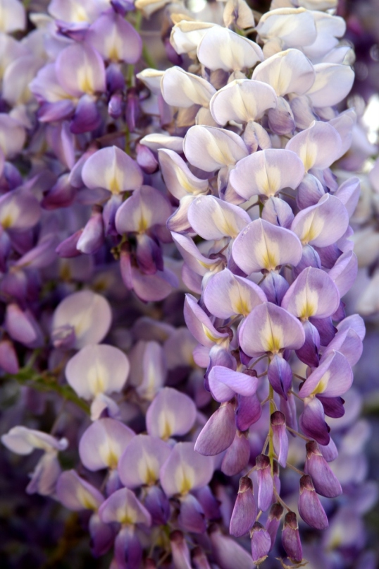 A wisteria in all its glory