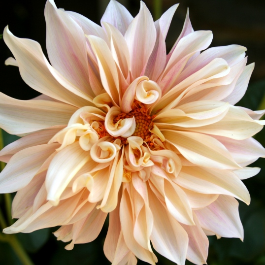 """The dahlia is often referred to as the """"Queen of the Autumn Garden""""."""