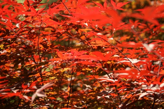 The sun has set these Japanese maple leaves on fire.
