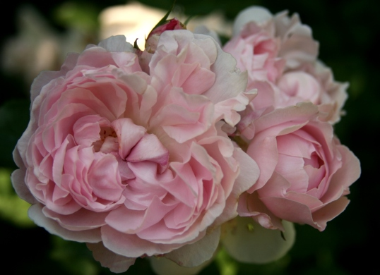 A  cluster of pink loveliness!