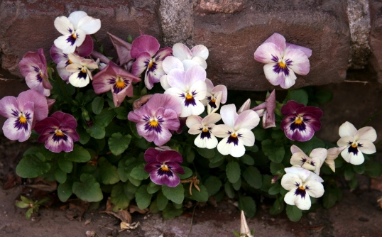 These violas thought it would be best to grow in between the cracks of the brick step.
