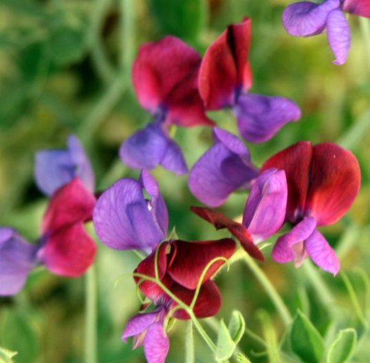 Sweet peas lend a cottage feel to the garden.