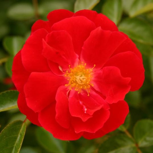 Intense, fiery red rose