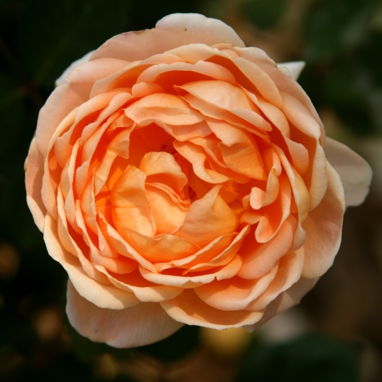 Many petals of peach loveliness