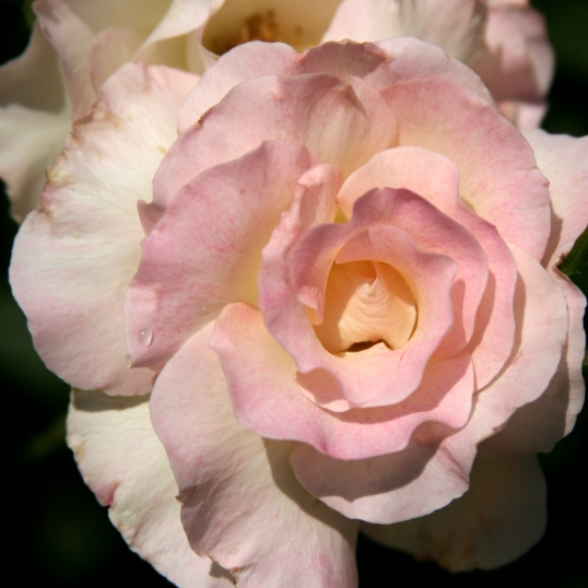 Pale pink delighfulness