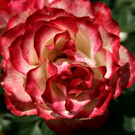 A perfect rose for an old world painting