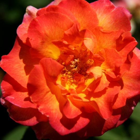 How a beautiful sunset would look in a rose