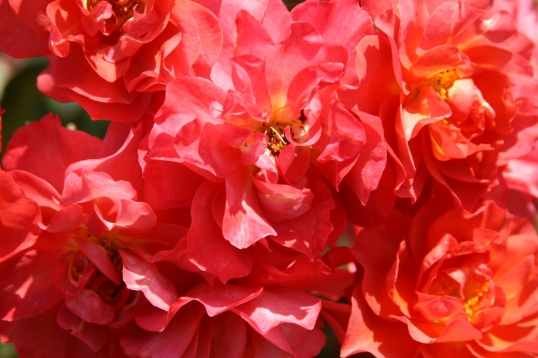 A plethora of beautiful salmon pink roses