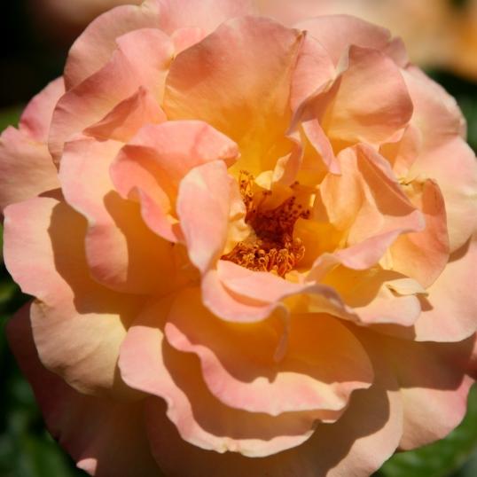 Soft peach loveliness