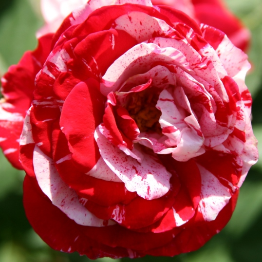 Love the speckled striking contrast in this rose!