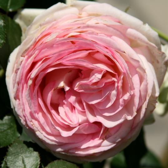 Many ruffled petals of pink loveliness!