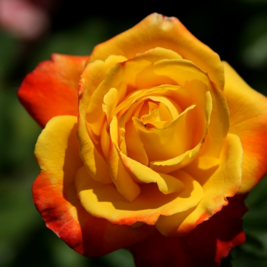 Vibrant gold petals tipped with orange zest