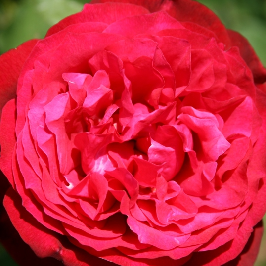 Has the feel of a carnation, but definitely a rose.