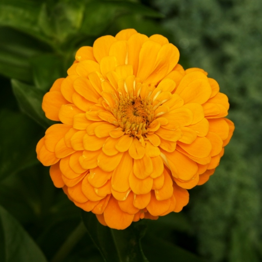 What a splendid golden marigold!