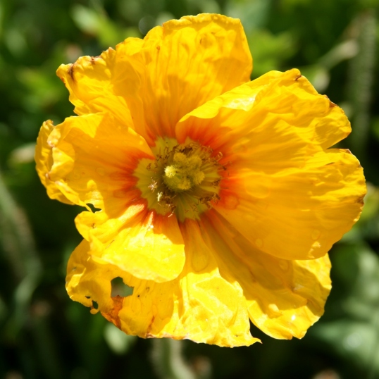 Poppies are so delicate, yet add vibrancy to the garden.