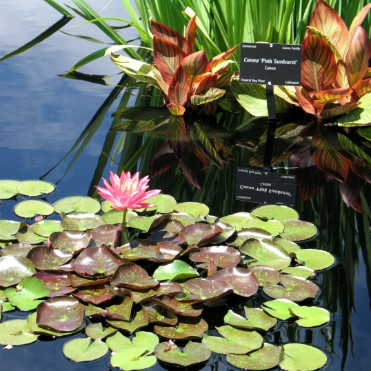 The lone water lily is surrounded by many friendly lily pads.