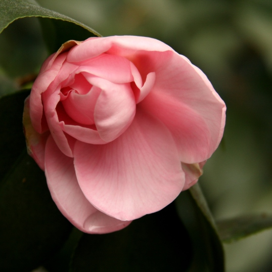 A slowly unfurling camellia