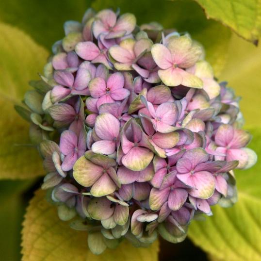 Beautiful lavender hydrangea