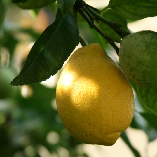 Lemon season is here!