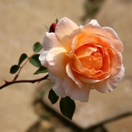 This charming rose was gently arching out over the front walkway.