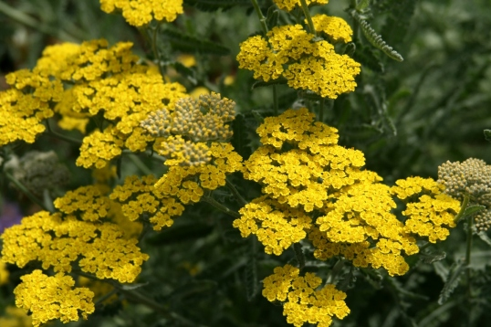The bees were loving this gold yarrow.