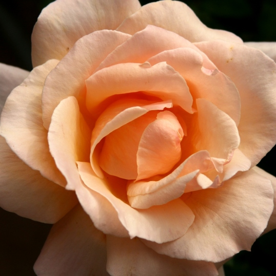 Roses add color and a wonderful fragrance to the sustainable garden.