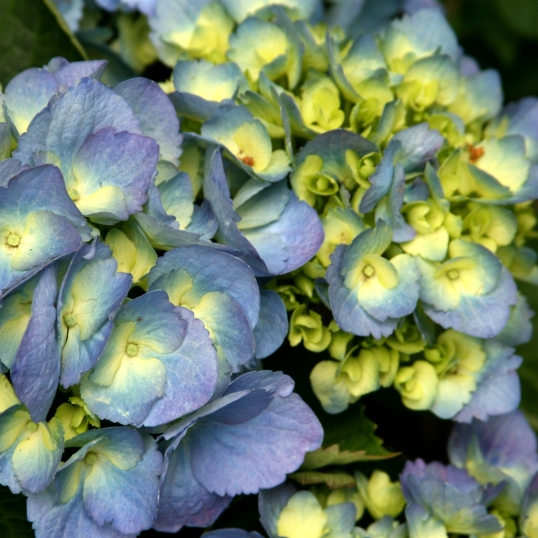 The blue hydrangeas were a welcome sight in this shady yard.