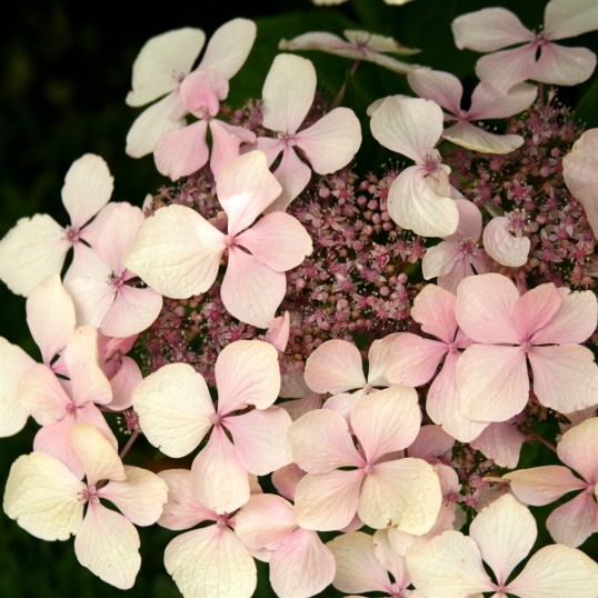A nice, soft pink hydrangea. Gorgeous!