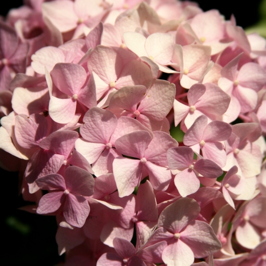 Another pink hydrangea has prominence in the garden.