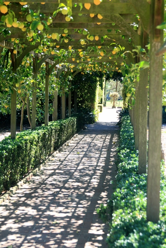 Beautiful citrus arbor that provides welcome shade.