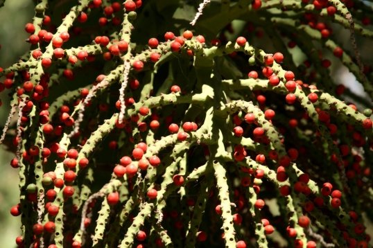 The vivid color of the berries is uncommon at Lotusland.